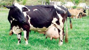 Vaca com Mastite